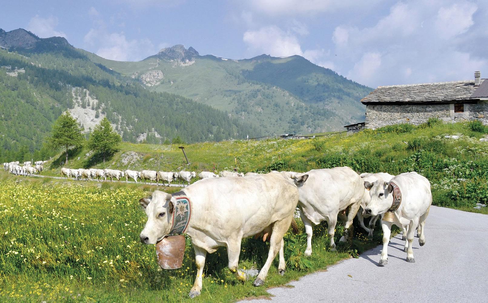 Bovino Razza Piemontese